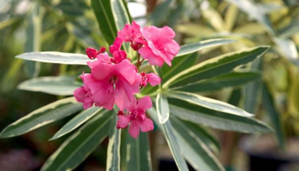 Oleander.png